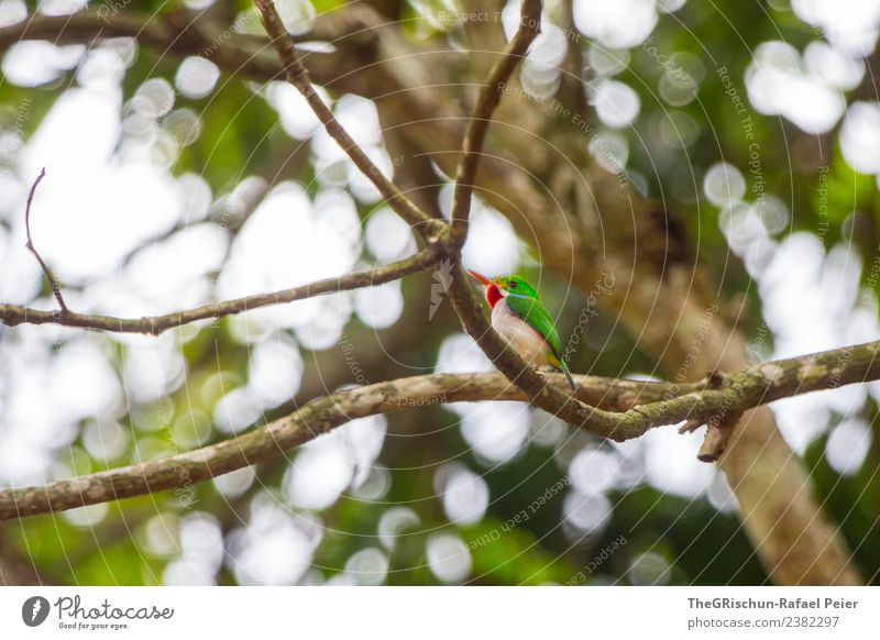 Green Todi Animal 1 Brown Gray Red todi Cuba Cuban bird Branch Flying Twigs and branches Tree Leaf Light Beak Metal coil Cute Bird Colour photo Exterior shot