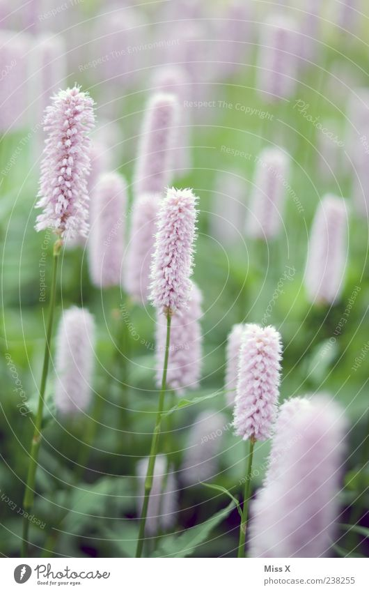 fluffy Plant Spring Flower Leaf Blossom Meadow Blossoming Fragrance Growth Pink Colour photo Exterior shot Close-up Graceful Delicate Flower meadow Many