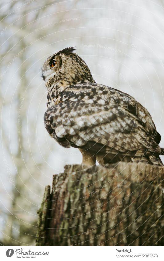 bobby Animal Wild animal Eagle owl Owl birds 1 Looking Wait Esthetic Exotic Brown Orange Black Willpower Brave Calm Wisdom Respect Pride Metal coil Eyes