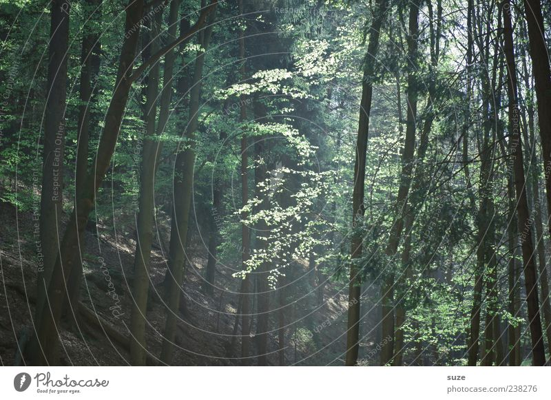 forest light Agriculture Forestry Environment Nature Landscape Earth Climate Tree Tree trunk Woodground Leaf Authentic Natural Beautiful Brown Green Emotions