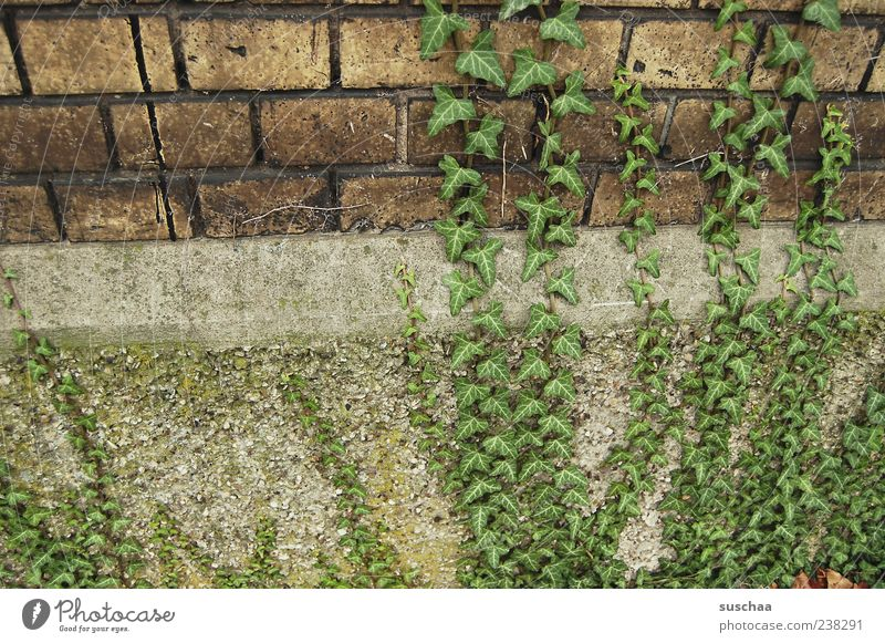 intrigues ... Building Wall (barrier) Wall (building) Stone Concrete Green Growth Ivy Colour photo Subdued colour Exterior shot Deserted Tendril Creeper