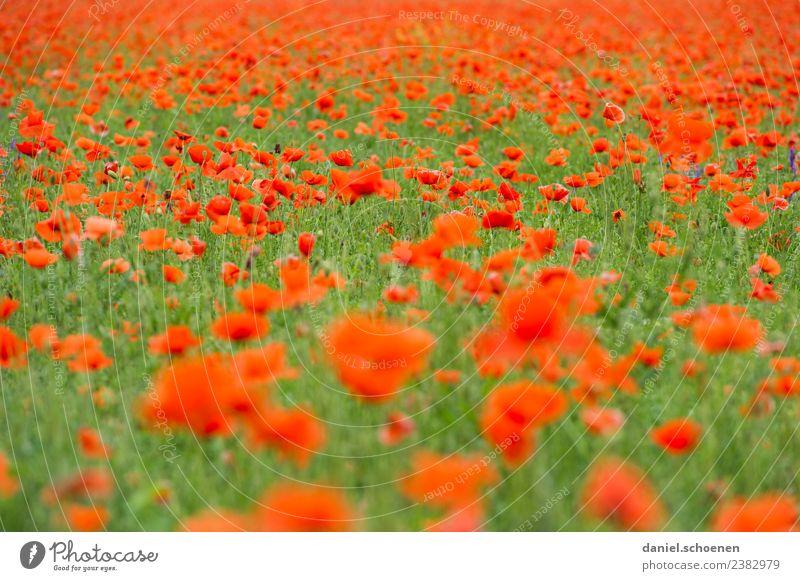 Nature Summer Plant Colour Green Flower Red Blossom Transience Poppy Poppy field