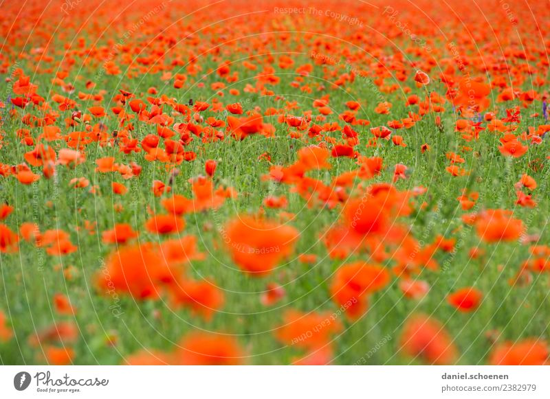 thousands Nature Plant Summer Flower Blossom Poppy field Green Red Colour Transience Colour photo Multicoloured Deserted
