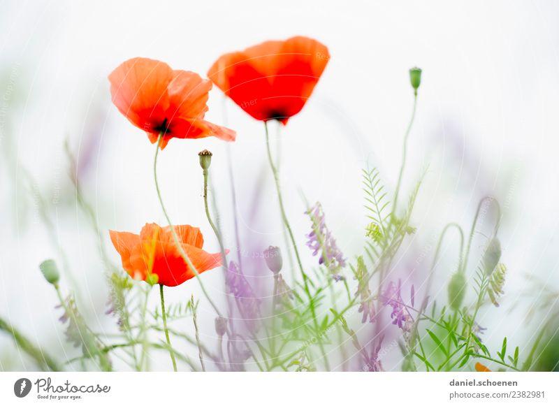 Nature Plant Summer Green White Flower Red Bright Friendliness Poppy Poppy blossom