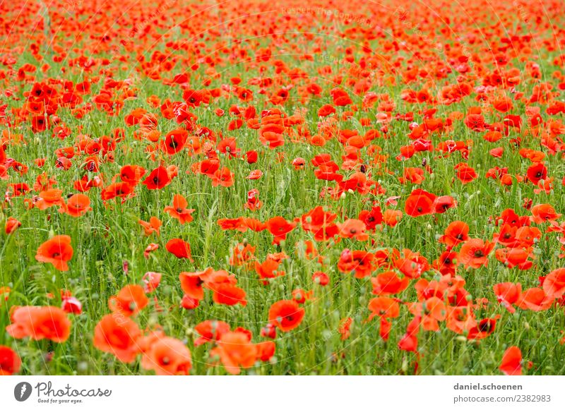 lots of red Nature Plant Summer Flower Meadow Fresh Green Red Poppy Poppy field Flower meadow Multicoloured