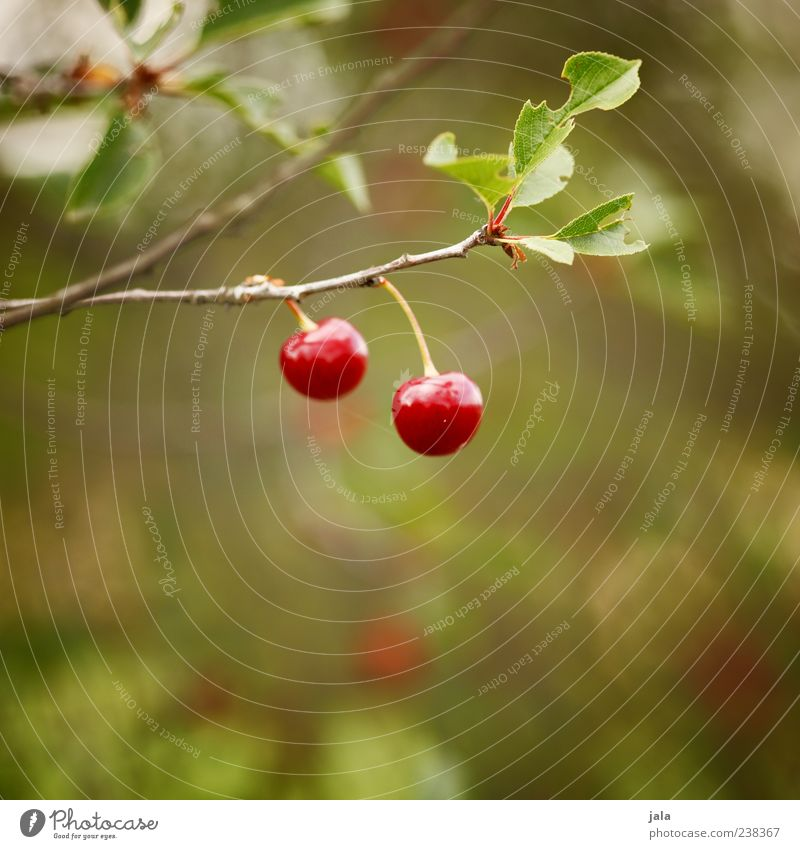 Nature Green Plant Red Leaf Nutrition Food Fruit Glittering Delicious Mature Organic produce Cherry Vegetarian diet Light