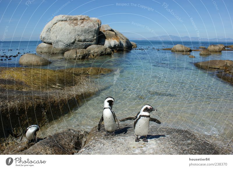 Penguin beach in South Africa (Simonstown) Vacation & Travel Freedom Expedition Summer Beach Ocean Waves Environment Nature Landscape Animal Water Sky