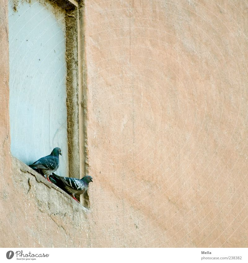 two Building Wall (barrier) Wall (building) Animal Bird Pigeon 2 Sit Old Together Gloomy Windowsill Niche Pair of animals In pairs Colour photo Exterior shot