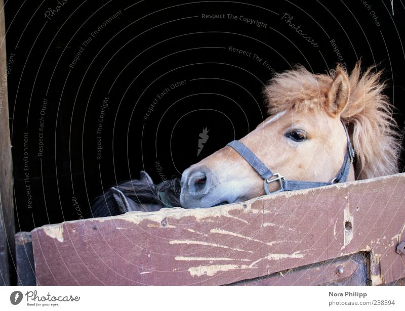 Animal Brown Cute Horse Pelt Animal face Pet Captured Pony Farm animal Barn Mane 2 Halter Horse's head Stable