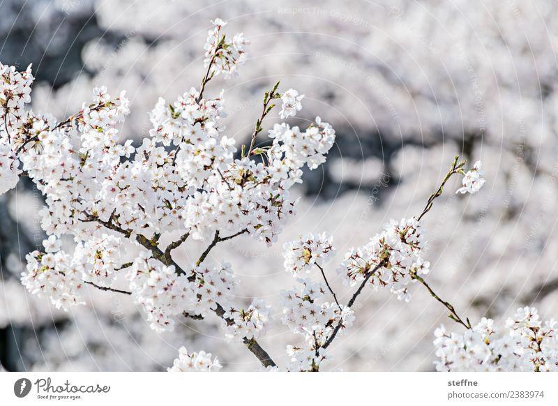 white to white Spring Tree Blossom White Blossoming Bright Pure Innocent Cherry blossom Colour photo Exterior shot