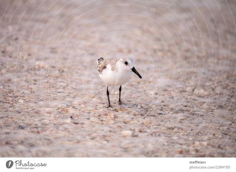 Western Sandpiper shorebirds Calidris mauri Beach Ocean Nature Animal Coast Wild animal Bird 1 Brown Western sandpiper avian wading bird coastal forage