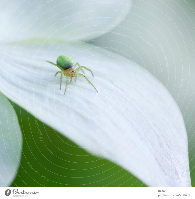 Fie, spider! Environment Nature Plant Blossom Animal Spider 1 Crawl Esthetic Exceptional Bright Small Cute Round Yellow Green White Uniqueness Colour photo