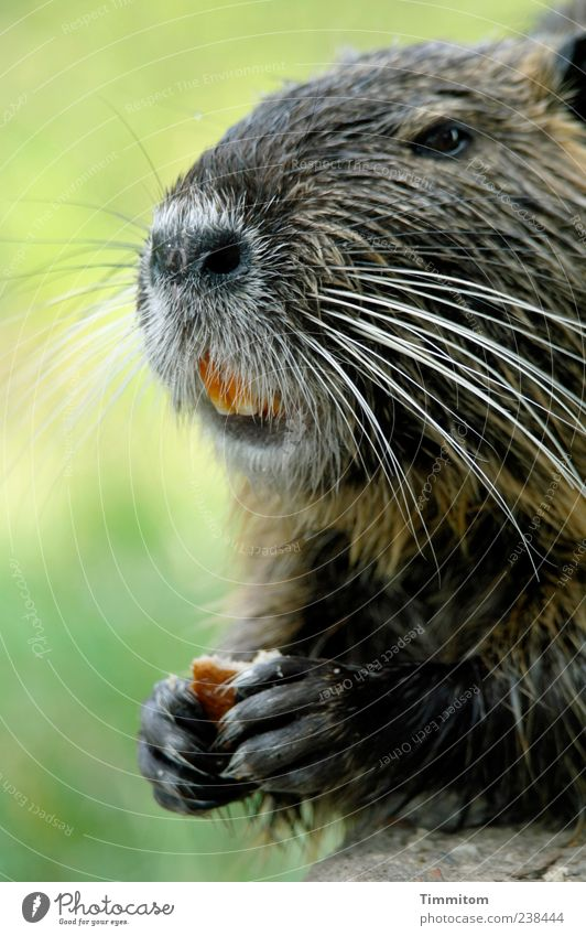 The Bisi Animal Wild animal Animal face Pelt Claw Paw Nutria 1 Cute Smart Happiness Beautiful Musk rat Exceptional Set of teeth Nail Foraging Colour photo