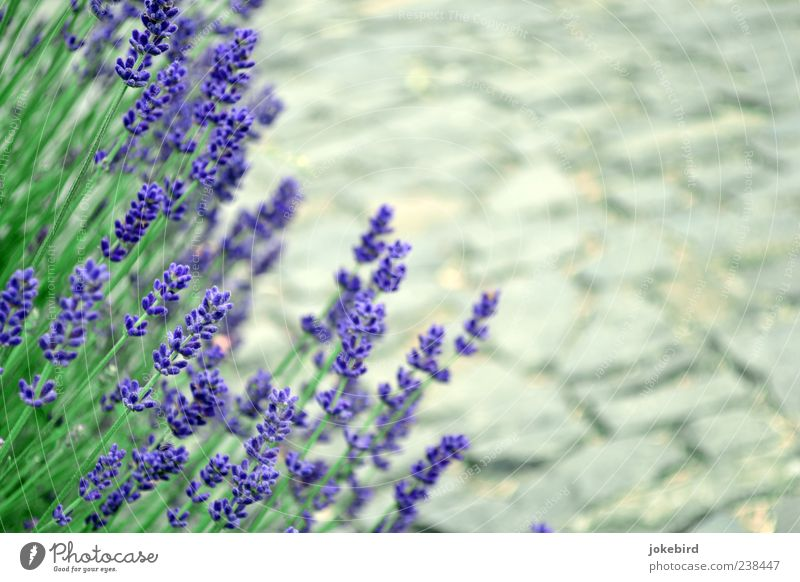 Fragrances pave your way Healthy Relaxation Calm Summer vacation Garden Plant Beautiful weather Blossom Stalk Lavender Bushes Park Stone Gray Green Violet