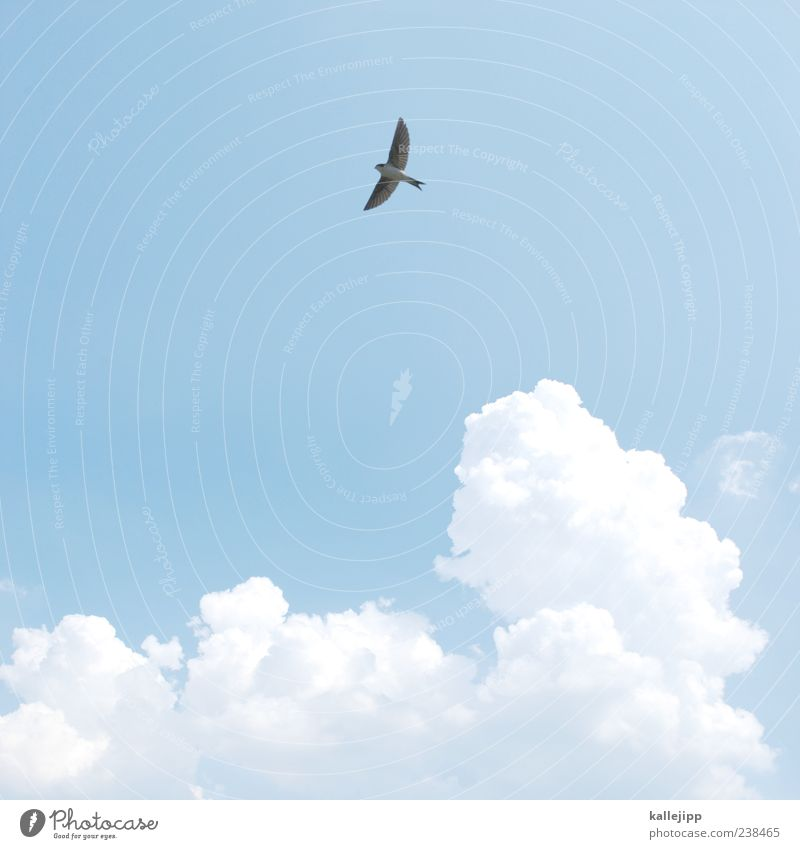 summer Leisure and hobbies Sky Clouds Summer Animal Wild animal Bird Wing 1 Flying Swallow Cumulus Weather Colour photo Exterior shot Light Shadow Contrast