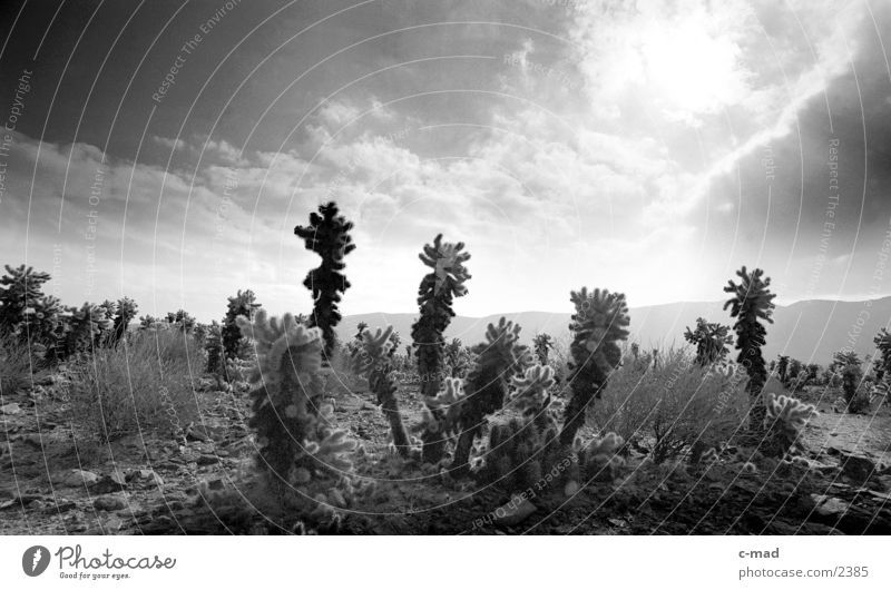 Joshua Ree National Park California Joshua Tree Clouds Moody Back-light USA Black & white photo Landscape Cactus field Sunlight Deserted