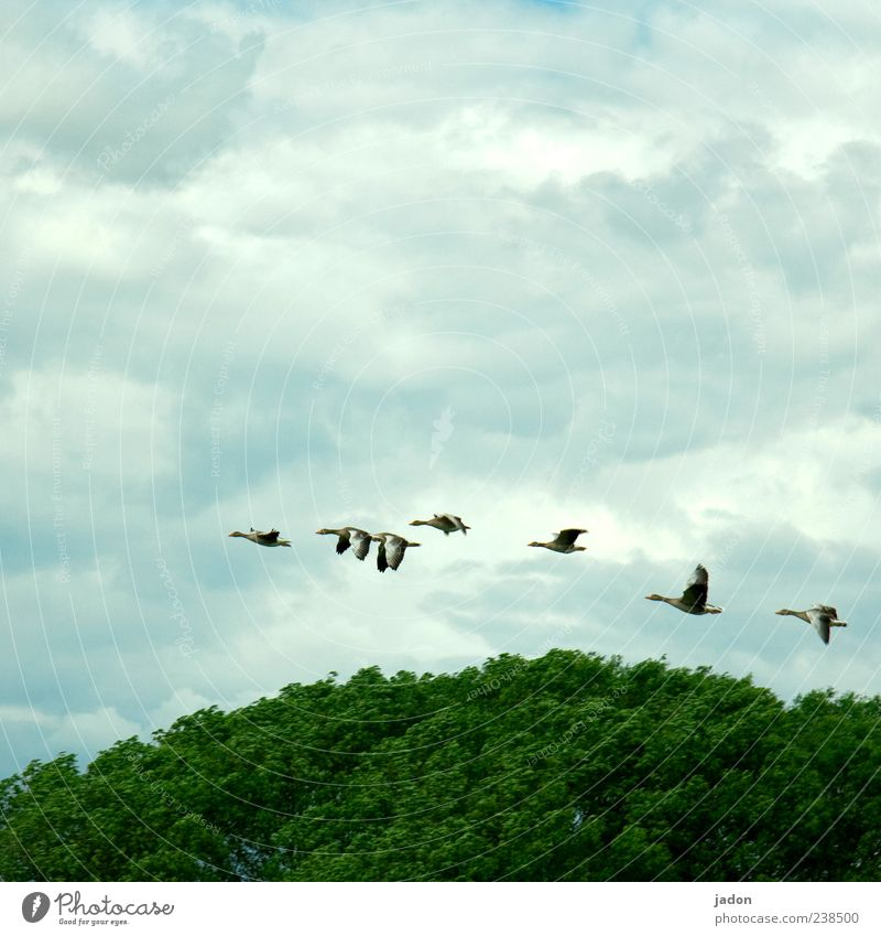 frequent flyers. Tree Forest Animal Wild animal Bird Wing Flock Flying Elegant Goose Wild goose Gray lag goose 7 Flight of the birds Swing Dynamics