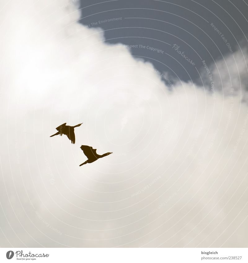 into the blue Sky Clouds Bird Wing 2 Animal Pair of animals Flying Blue White Freedom Upward Colour photo Subdued colour Exterior shot Deserted Copy Space right