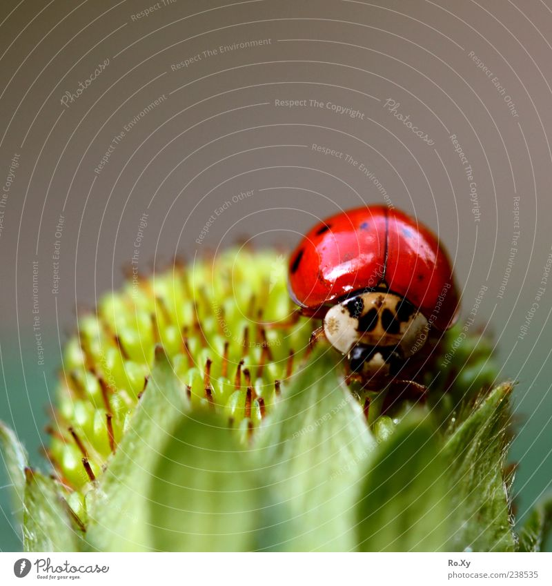 Flying Strawberry Fruit Summer Nature Leaf Agricultural crop Animal Beetle 1 Touch Movement Blossoming Crawl Growth Beautiful Green Red Black Joy