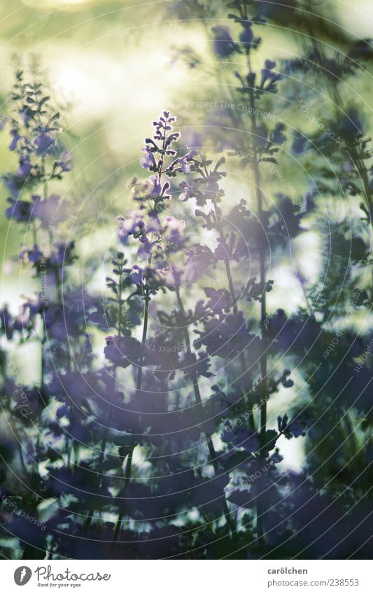 Nature Green Plant Summer Spring Garden Gold Fog Growth Violet Haze Lavender Herbs and spices