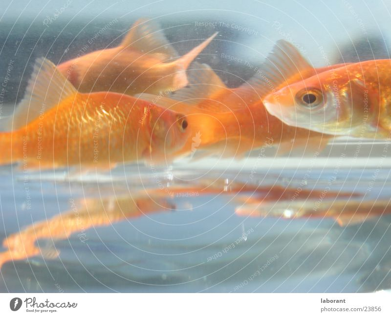 fish sticks Goldfish Aquarium Reflection Water Glass Water wings Swimming & Bathing