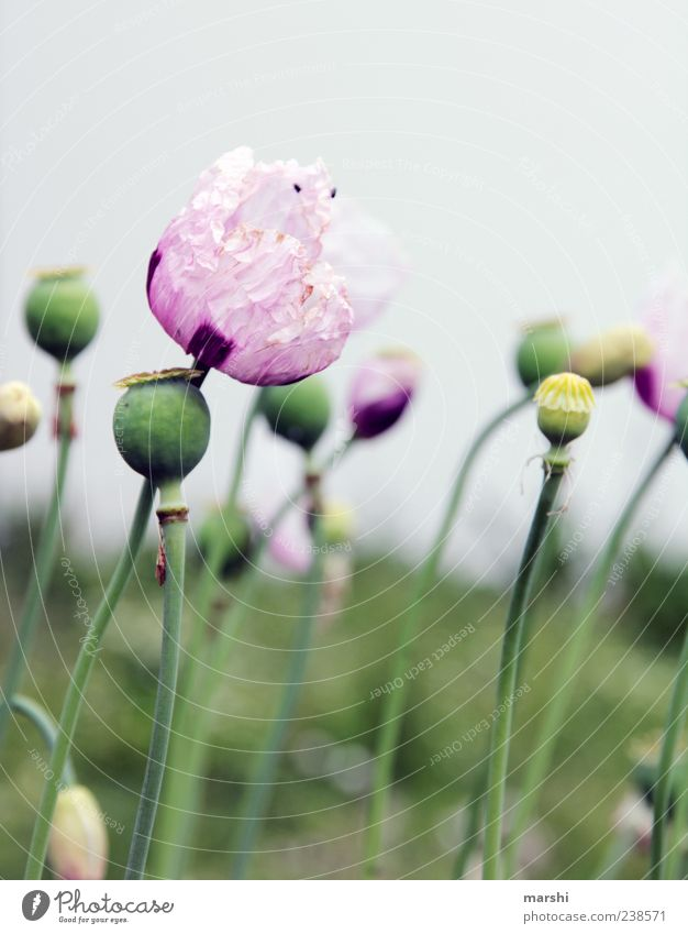 Nature Green Plant Summer Flower Leaf Landscape Spring Blossom Pink Growth Violet Delicate Poppy Agricultural crop Poppy field