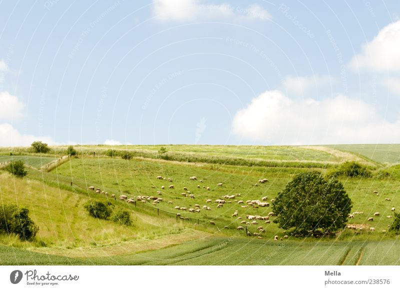 Sheep cloud picture book idyll Environment Nature Landscape Beautiful weather Meadow Field Pasture Animal Farm animal Group of animals Herd Blue Green Peace