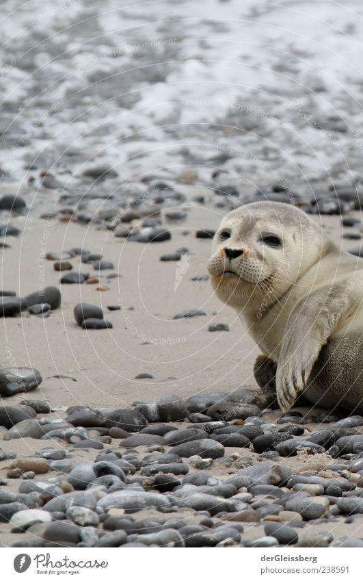Beach Animal Calm Gray Small Stone Baby animal Lie Cute Animal face Seals Fin Seal cub Marine mammal