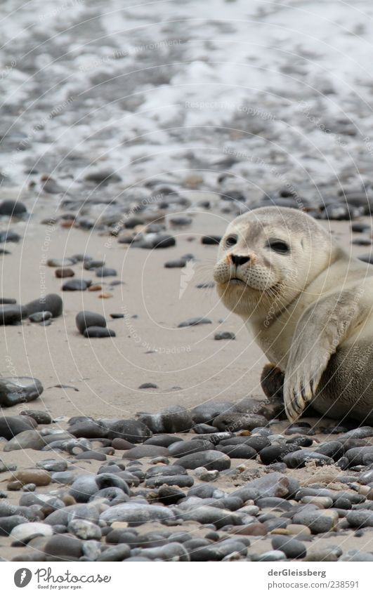 Hey, Dude! Beach Animal Seals Seal cub 1 Gray Stone Fin Lie Looking into the camera Small Calm Colour photo Detail Shallow depth of field Animal portrait
