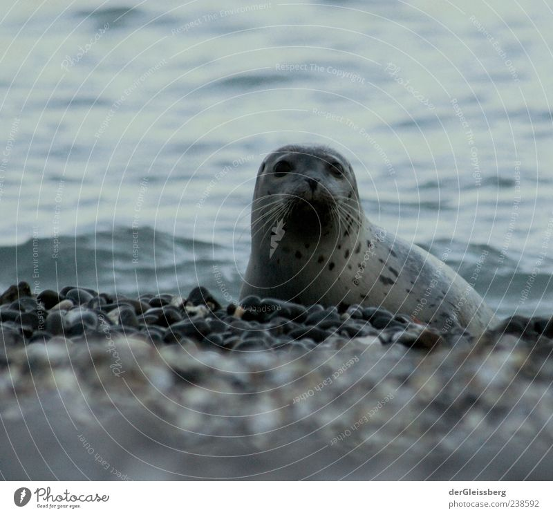 Water Beach Animal Calm Coast Gray Stone Waves Natural Wet Animal face Lakeside North Sea Ocean Seals Ringed seal