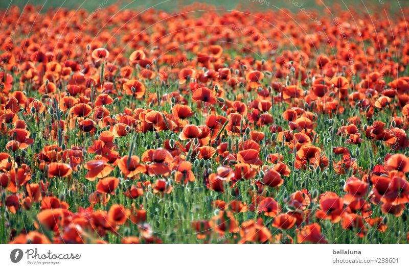 Red carpet. Nature Plant Sunlight Summer Beautiful weather Flower Blossom Wild plant Meadow Field Poppy field Poppy blossom Colour photo Multicoloured