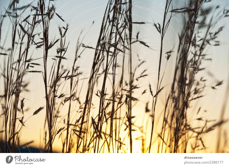Spears of grass silhouette Summer Sun Nature Landscape Plant Sky Autumn Grass Growth Bright Blue Yellow Colour Sunset oat Wheat field Rye Rural orange Farm