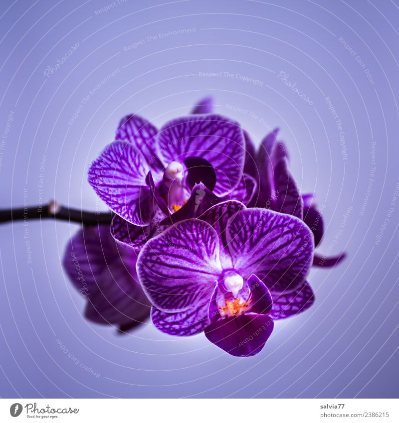 purple orchid Nature Plant Flower Orchid Blossom Exotic Blossoming Esthetic Beautiful Violet Fragrance Colour photo Close-up Deserted Copy Space top