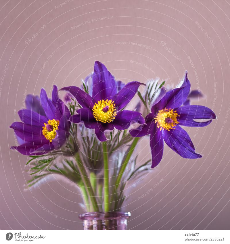 cow clamp Nature Plant Spring Flower Leaf Blossom Wild plant Anemone Garden Blossoming Blue Yellow Green Fragrance Bouquet Colour photo Interior shot Close-up