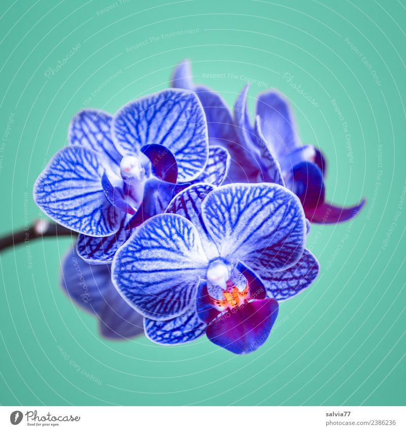 blue orchid Beautiful Wellness Harmonious Well-being Senses Calm Valentine's Day Mother's Day Nature Plant Flower Orchid Blossom Exotic phalaenopsis Blossoming