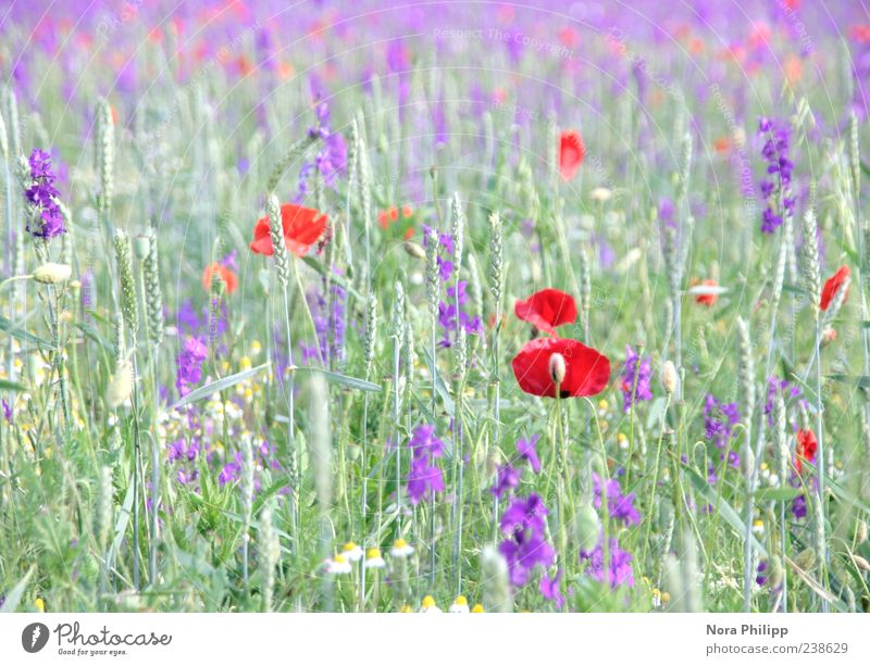 Poppies and more. Summer Environment Nature Plant Sunlight Flower Grass Leaf Blossom Foliage plant Wild plant Poppy Blade of grass Meadow Blossoming