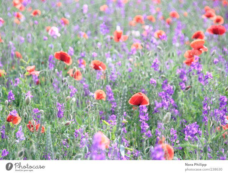 paradise meadow. Harmonious Environment Nature Plant Summer Flower Grass Leaf Blossom Foliage plant Poppy Poppy blossom Poppy field Meadow Blossoming Illuminate