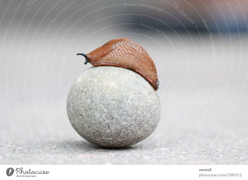 Nudibranch on round stone Environment Nature Animal Wild animal Snail 1 Brown Gray Slug Snail slime Slowly Round Sphere Spherical Go up Success