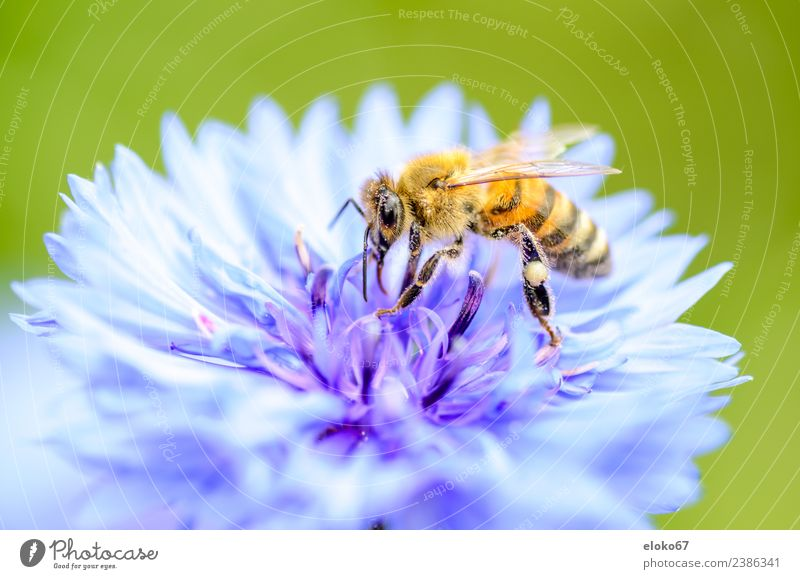bee on a blue blossom Summer Nature Plant Jump Pink garden Planning insect Background picture flower pollination honey Pollen environment Bow ecology wildlife