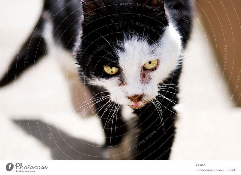 Cat Old White Animal Black Eyes Going Pelt Animal face Fatigue Pet Feeble Hideous Love of animals Movement
