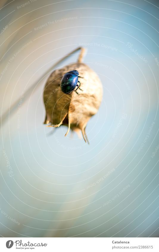 Sky blue leaf beetle Nature Animal Spring Plant fruit capsule Black Caraway Seed Garden Beetle Pests 1 Crawl Elegant Glittering Beautiful Round Blue Brown