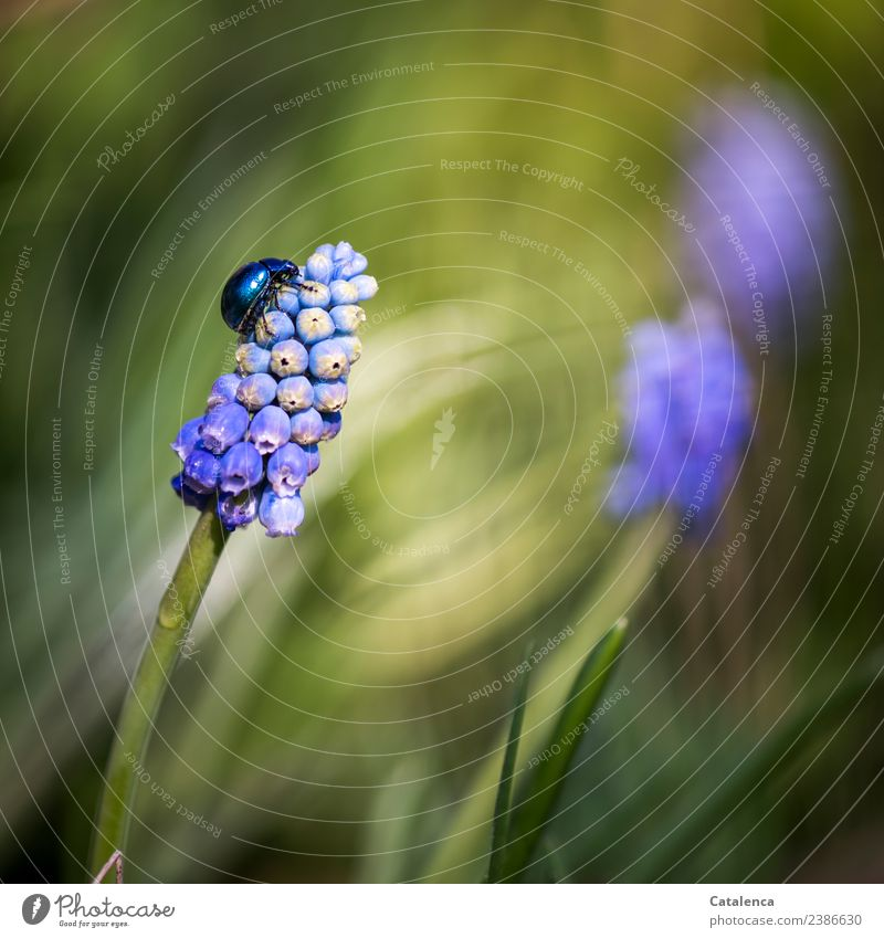 Sky blue leaf beetle crawling up a grape hyacinth Nature Plant Animal Spring Beautiful weather Flower Blossom Hyacinthus Muscari Garden Beetle 1 Blossoming