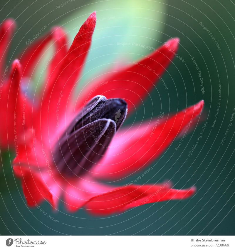 Nature Beautiful Red Plant Colour Black Spring Blossom Power Exceptional Natural Elegant Growth Esthetic Illuminate Point