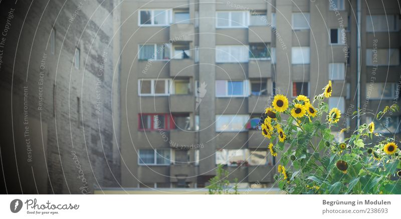 backyard atmosphere Plant Flower House (Residential Structure) Wall (barrier) Wall (building) Facade Balcony Window Blossoming Yellow Backyard Flair Gray Green