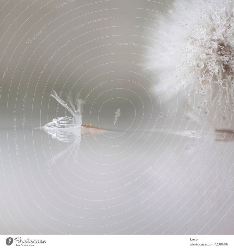 Strange Angels Spring Summer Plant Flower Blossom Dandelion Water Drop Unable to fly Lie Esthetic Fluid Uniqueness Small Wet Brown Gray Silver White Beautiful