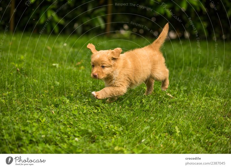 # 744 Puppy Dog Nova Scotia Duck Tolling Retriever Beautiful Cute Clumsy Playing Walking Soft Garden Lawn Colour photo Growth