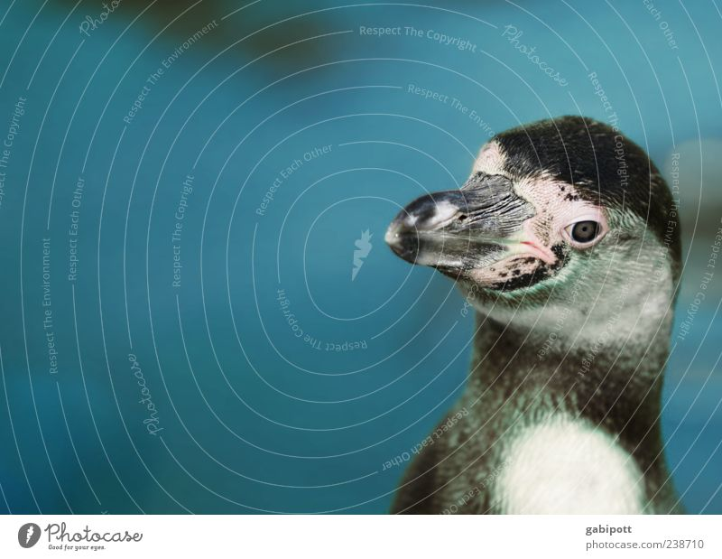 Blue Animal Bird Wild animal Happiness Cute Pelt Animal face Zoo Joie de vivre (Vitality) Beak Aquarium Love of animals Homesickness Penguin Zoology