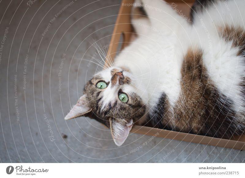 off inne box! Animal Pet Cat 1 Packaging Package Box Observe Relaxation Lie Wait Goof off Copy Space left Pelt Calm Colour photo Subdued colour Exterior shot