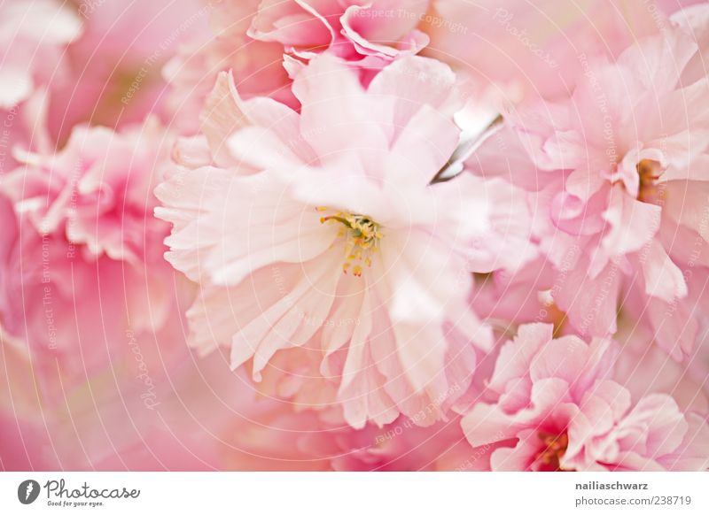 Nature Plant Flower Spring Blossom Pink Esthetic Delicate Fragile Graceful Pastel tone Seasons