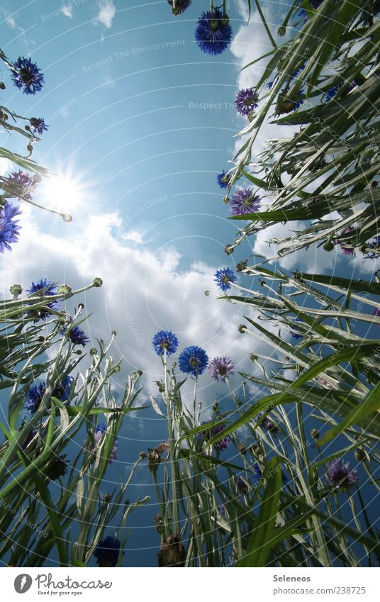 CornFlowersField Environment Nature Landscape Plant Sky Clouds Sun Spring Summer Climate Weather Beautiful weather Blossom Cornflower Garden Meadow Growth